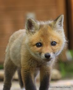 ~~Red Fox Kit by MattSullivan~~