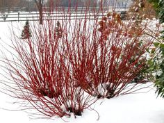 Arctic Fire Red Twig Dogwood or Ivory Halo Dogwood.  Arctic Fire 3-4' tall green leaves Ivory Halo 5-6' tall variegated cream and green.  Yellow stem varieties get disease