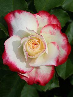 Rosa 'Cherry Parfait'