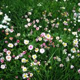 Backyard grass option #2