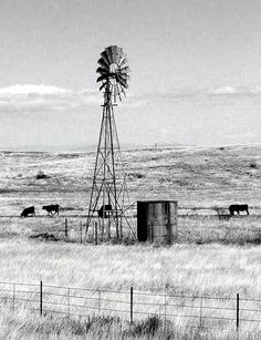 windmill and grazing cattle
