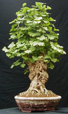 """***My other FAV-Ginko Bonzai Tree-- it is Bonsai...no """"z""""!  I never did find a good """" old stock"""" Ginko to get into a small pot.  These are sooo wonderful.  OUR USA National Collection in DC is awesome IF you get the chance to see it...  ctc"""