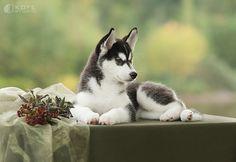 Favorites | Siberian Husky puppy
