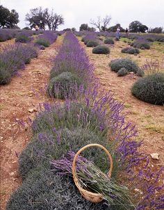 Lavender in the Texas Hill Country (Hummingbird Farms)