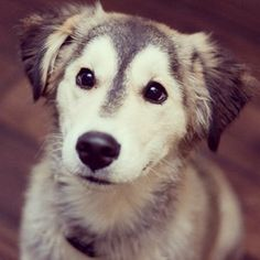 Beautiful retriever husky mix. Sean thinks he's a cute puppy!!!! :)