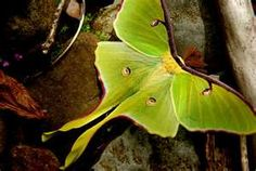a garden for luna moths and butterflies