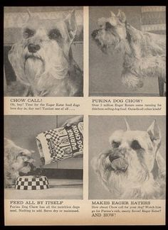 Mini Schnauzer featured in1961 Purina Dog Chow ad