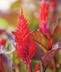 """Celosia, Chinatown Neon-bright red plumes summer-long. Fiery plumes with feathery spikes on red stems dark, deep-purple leaves. easy-growing 14-16"""" tall plants Plants thrive in heat and sun. Full sun.  LifeCycle: Annual  Height: 14-16  inches Spread: 14-16  inches  Sowing Method: Direct   Sow/Indoor Sow"""