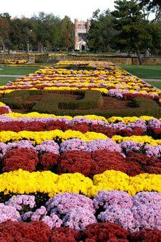 South Oval Mums by University of Oklahoma, via Flickr