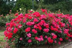 1 Red Knock Out Rose