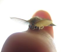 Moth by Specklet, via Flickr ear, bats, crazy people, bug, finger, blog, insect, little animals, tiny animals