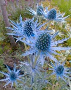 Sea Holly is a hardy perennial, drought tolerant and thrives in poor soil conditions makes an excellent addition to any gardeb with a burst of blue!