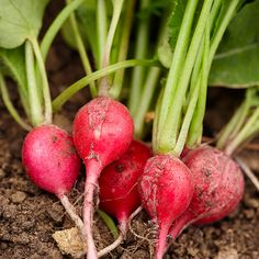Fall Planting: gardeners can harvest a crop (or three) of radishes after school starts. Just loosen up some soil enriched with compost, smooth with a garden rake, sprinkle the seeds, and lightly cover with soil. In 30 to 40 days, you'll be adding these flavorful vegetables to your salads!