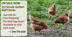 all about owning chickens