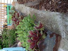 Chicken feeder with succulents