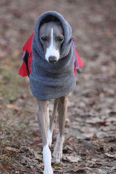 Italian greyhound, <3