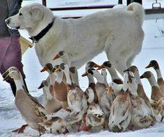 Akbaş Çoban Köpeği..Türkiye Turkish akbash dog
