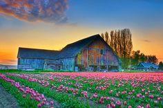 COOL!! Skagit Valley Tulip Festival -  Washington State, USA ! >  Photo by Peter Schenk