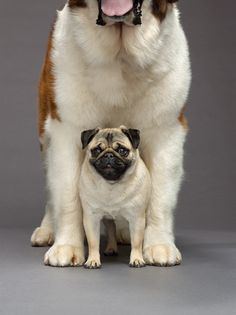 pug + St. Bernard (link to original source (National Geographic doesn't allow pinning from its site): http://tinyurl.com/86cfxwy)