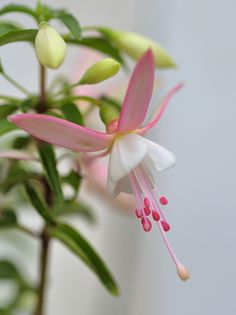 Delicate Pink Fuchsia