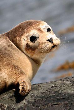 Scalpsie Seal, Scotland