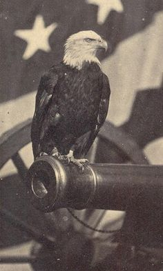 Old Abe, the American War Eagle, was the mascot of the 8th Wisconsin Regiment in the Civil War. Old Abe was in thirty-nine battles during the Civil War including Fredericktown, and the Siege of Vicksburg.  Old Abe was not just a mascot, but became a patriotic symbol for the entire nation.