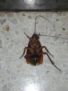 Boric acid is often used to kill roaches