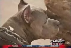 A Pit Bull Saw a Man Beating His Wife. What Happens Next is AWESOME! ~  HERO!!!!!!!