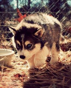 all I want for christmas is a pomsky adorbs!!!
