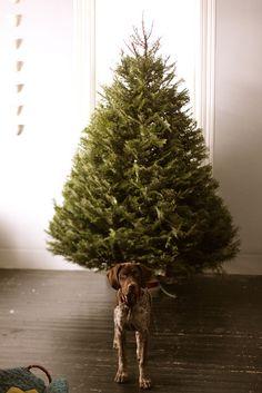Christmas   Xmas   Jul   Noel. Tree. Evergreen. Dog.