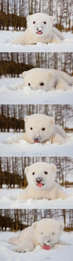 Siku the polar bear in snow for the first time ... eventually we ALL eat the snow. ROFL.