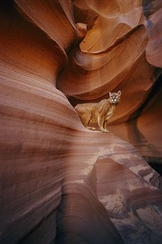 ✮ A mountain lion pauses on a ledge inside this swirled rock chasm - AZ