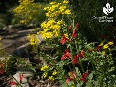 Texas betony for hummingbirds and golden groundsel for bees and butterflies.