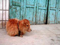 a baby yak!