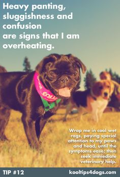 Heavy panting, sluggishness and confusion are signs that your dog is overheating!  www.koolcollar4dogs.com