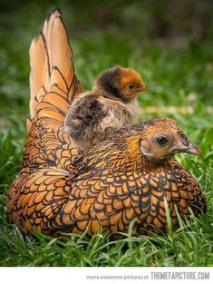 Golden laced Wyandotte and chick-like our chickens when I was in 4-H