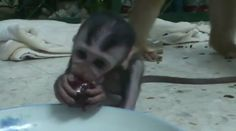 At a primate sanctuary in Kuala Lumpur, Malaysia, an adopted baby monkey named Shakinyet tries a piece of fruit for the first time and seems unsure of the strange sweetness that floods his tiny mou...