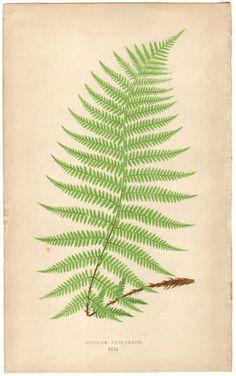 Antique botanical illustration of a fern fern