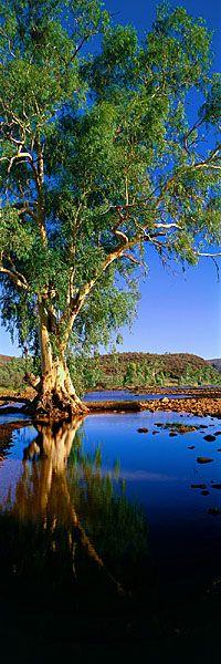 River Gum, Finke River, Northern Territory, Australia