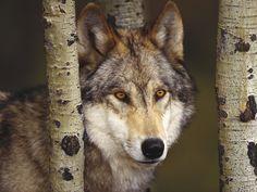 Camo Wolf