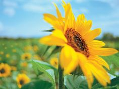 Sunflower Fields - wallpapers