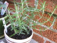 8 aromatic indoor herbs that purify air naturally Rosemary in pot