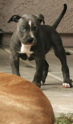 "blue nose pitbull puppy ""what?"""