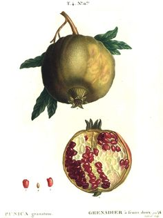 pomegranate by pierre joseph redouté