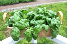How to Grow Basil {Start to Finish}   One Hundred Dollars a Month