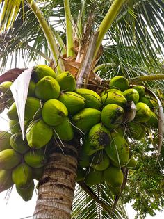 Coconut Tree in Cape