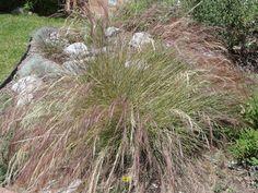 California Native Bunchgrasses - California Native Plant Society