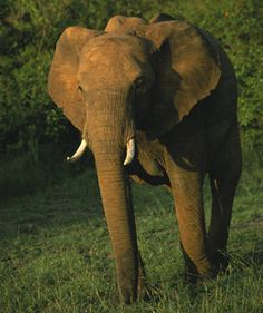 Elephant animal spirit guide