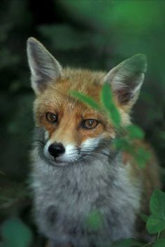 Italy - Fox (Volpe) from Regional Nature Reserve of Monterano