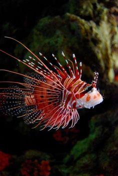 Lionfish anim, underwat, life, lionfish, lion fish, sea, ocean, lions, tiger fish